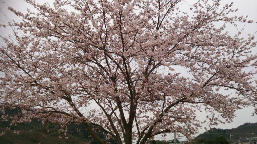 春といえば。
